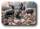 Pigs and people rooting for treasure in the rubbish, Kathmandu, Nepal