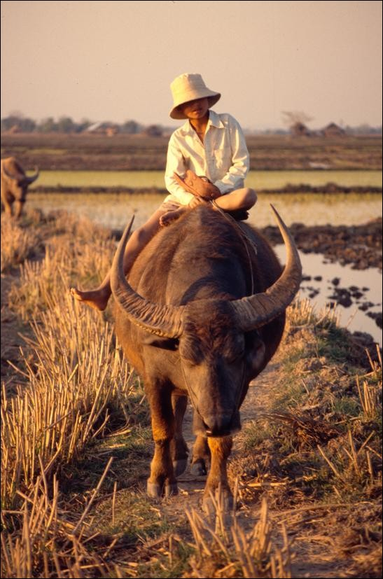 Riding a buffalo in from the fields, Inle Lake, Myanmar