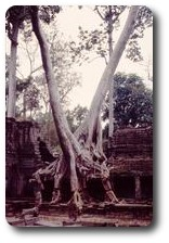 Trees amidst the ruins of Preah Khan, Angkor, Cambodia