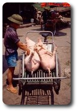 Pigs at the Hong Gai market, Vietnam